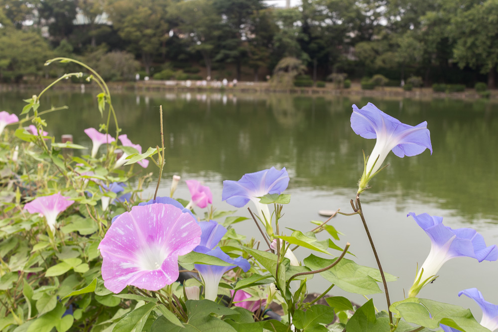 千葉公園の四季(2019/090/04)晩夏 朝顔・・