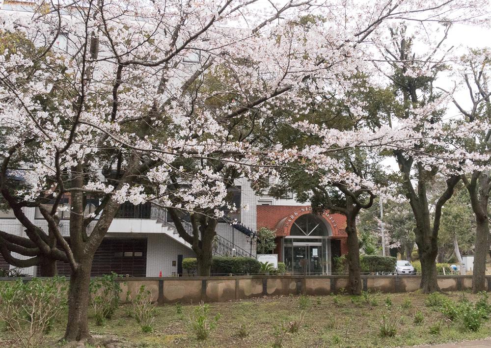 千葉公園の四季(2020/03/27)夜桜ライトアップ今年も