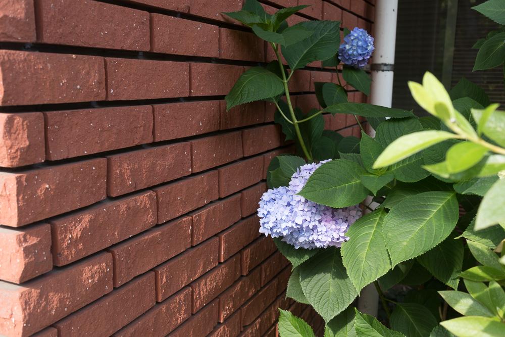 千葉公園の四季(2020/06/05)サツキ、菖蒲、紫陽花