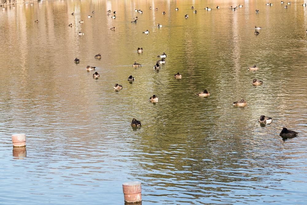 千葉公園の四季(2021/01/13)冬鳥来る
