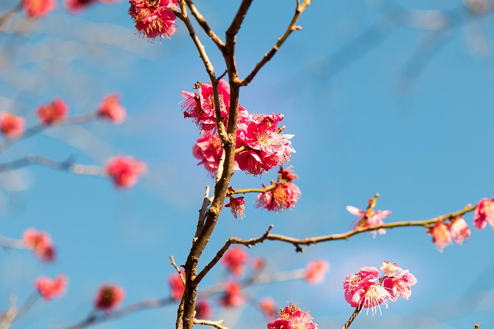 千葉公園の四季(2021/02/18)雨水、梅と河津桜
