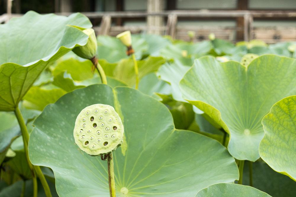 千葉公園の四季(2021-07/12)古代ハス終花へ